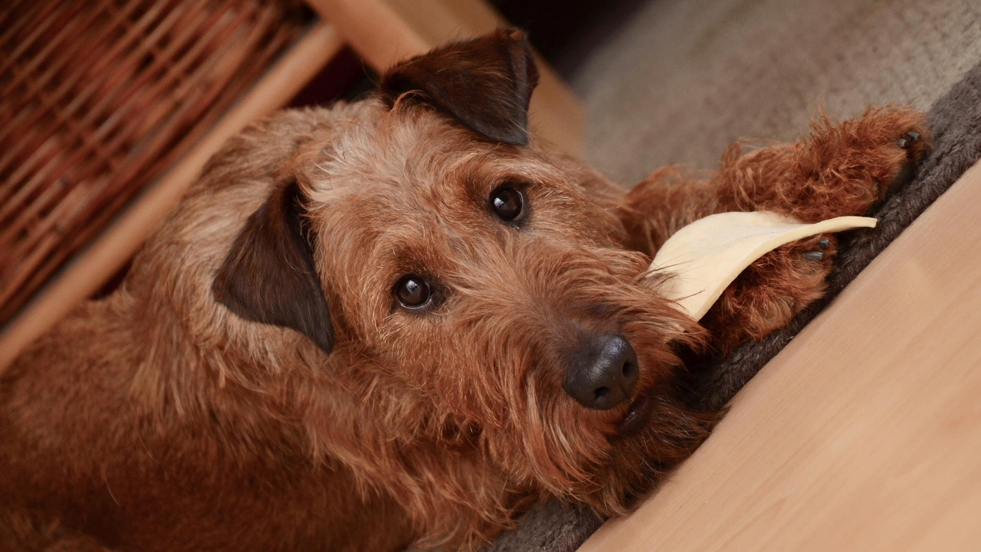 Irish terrier laid on the floor with food