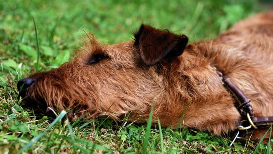 A Irish terrier rolling in the grass