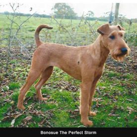 One of our stunning Irish terriers