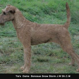 A Irish terrier Standing in a field