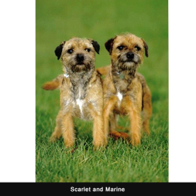 two small Irish terriers