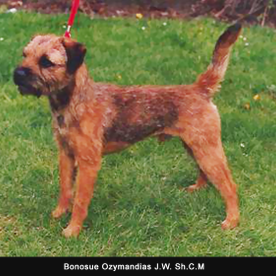 A small Irish terriers