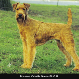 A panting of a Irish terrier